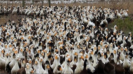 100 هزار اردک چینی به جنگ ملخ های صحرایی پاکستان رفتند