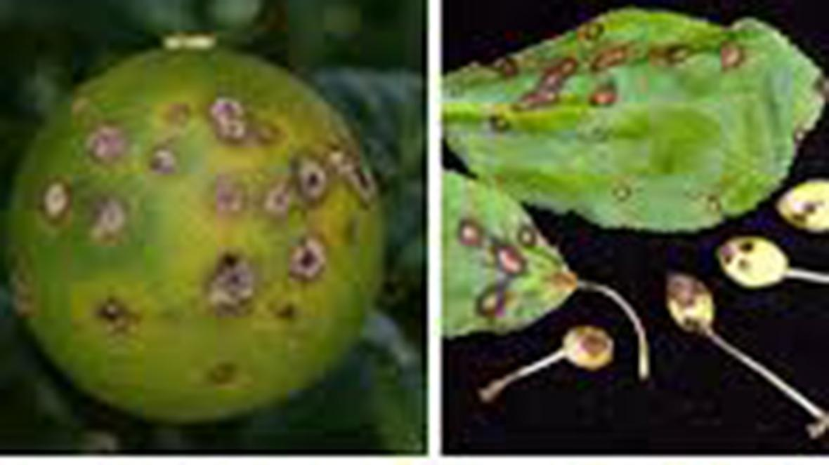 هجوم آفت شانکر به باغ های لیمو در فارس