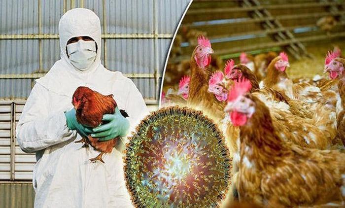 آنفولانزای مرغی چیست و علایم آن کدام است؟