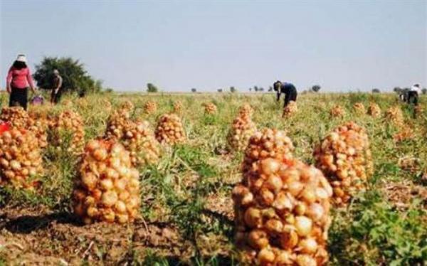 سه برابر میزان مورد احتیاج در جنوب کرمان پیاز کشت شده است